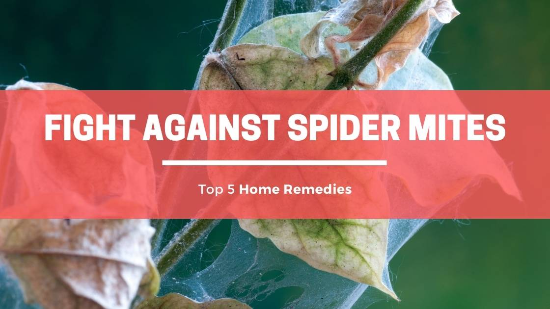 Photo of 5 Top Home Remedies to Detect & Fight Against Spider Mites