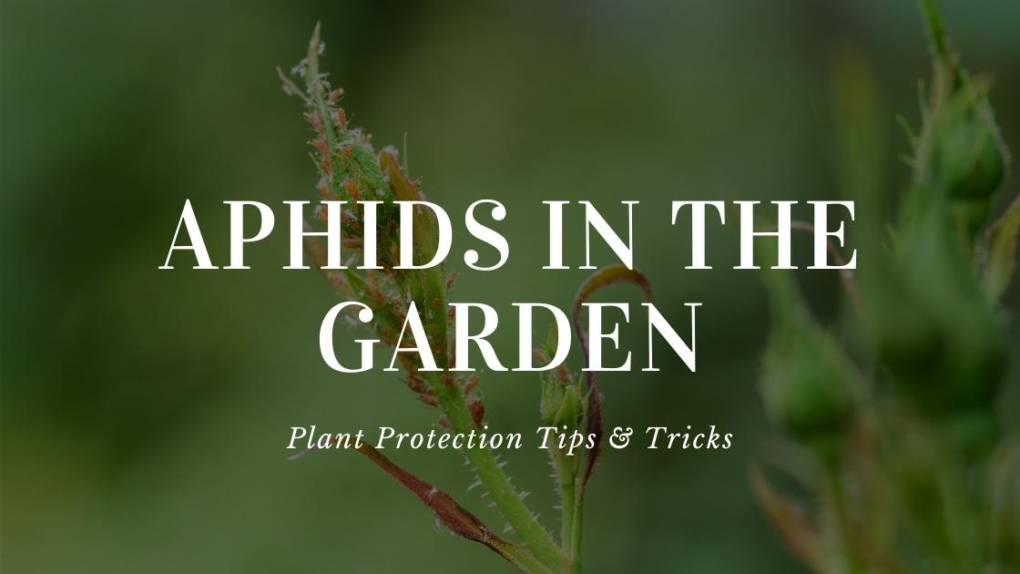 Photo of Aphids in the garden