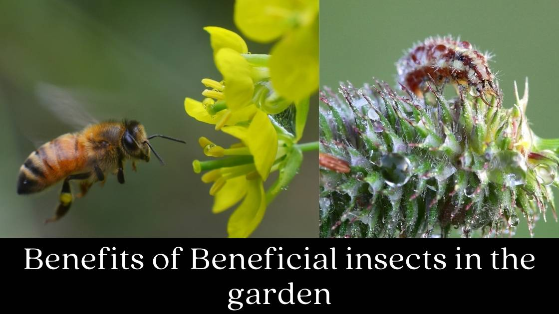 Photo of Benefits of Beneficial Insects in the Garden