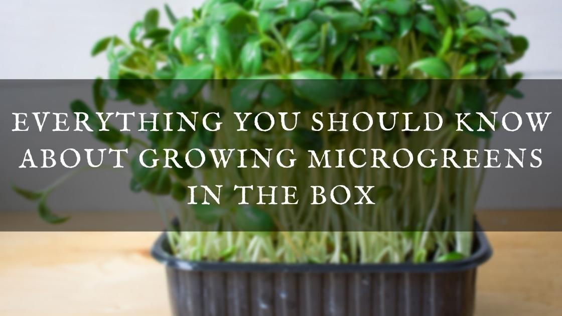 Photo of Everything You Should Know About Growing Microgreens in the Box
