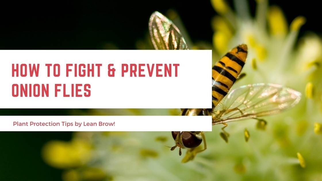 How To Fight & Prevent Onion Flies