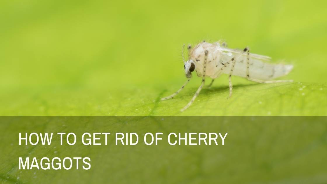 How To Get Rid Of Cherry Maggots – Tips & Tricks in The Orchard