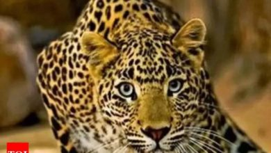 Photo of Leopard behind the bicycle;  'Birthday cake' saves the brothers