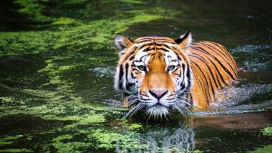 Photo of Does India play an important role in tiger conservation in the world?