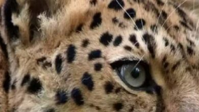 Photo of Five-year-old girl dies in leopard attack