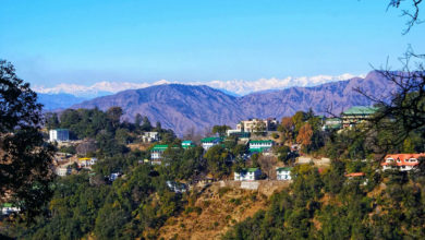 Photo of Masur plant in mussoorie: The plants named after this resort town are disappearing!  – The masur bush is disappearing from the hills of mussoorie, the rapid development of tourism is to blame