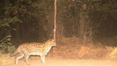 Photo of Fishing cat in India: the fishing cat returns;  Conservation success?  – sighting of endangered fishing cats in panna national park of madhya pradesh