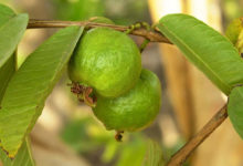 Photo of Guava and guava leaves:  – incredible benefits of guava and its leaves