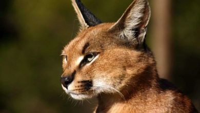 Photo of Rare sight: Can we save this wildcat?  – Caracal in danger of extinction in India, seen near the private compound of Rajasthan.